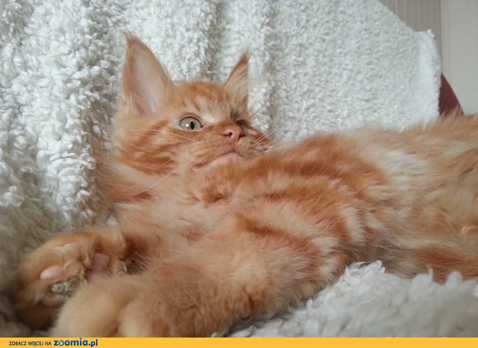 Maine coon ruda kotka śliczna ,będzie duża