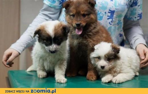 3 puchate szczeniaczki do adopcji,  śląskie Katowice