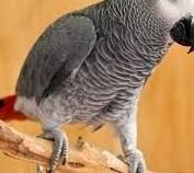 Urocza afrykańska szara papuga