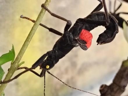 Straszyki diabelskie (Peruphasma schultei) parki