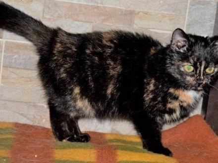CLEO cudna kotka szylkretka, młodziutka,  mazowieckie Warszawa