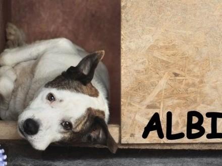 2 lata 20 kg  dla doświadczonych nie do dzieci  amstaff ALBIN_Adopcja