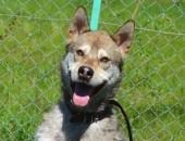 Wax - cudny pies w typie husky agouti :)