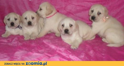 Labrador retriever - labradory,  małopolskie Tarnów