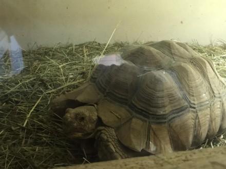 Żółwie Sulcata para
