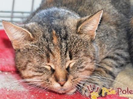 PEPSI-super piękna  miła  grzeczna  troszkę nieśmiała kotka szuka domu  adopcja