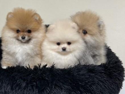 Mini Pomeranian Szczenieta