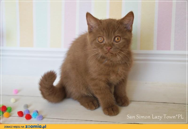 Cynamonowy kocurek brytyjski kocięta brytyjskie rodowód WCF