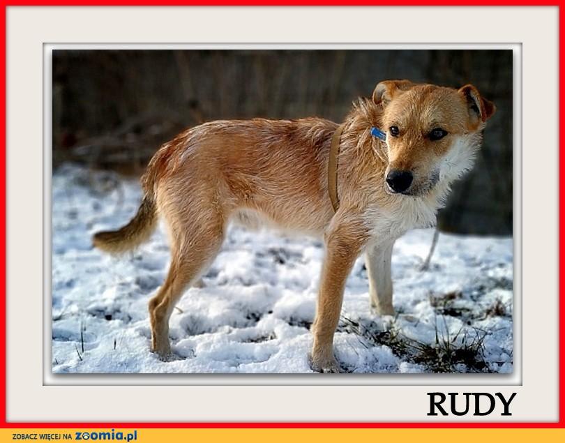 Młody,1,5 roczny,średni,łagodny,towarzyski,aktywny,zaszczepiony pies RUDY_Adopcja