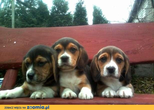 Beagle szczenięta z rodowodem, mazowieckie.
