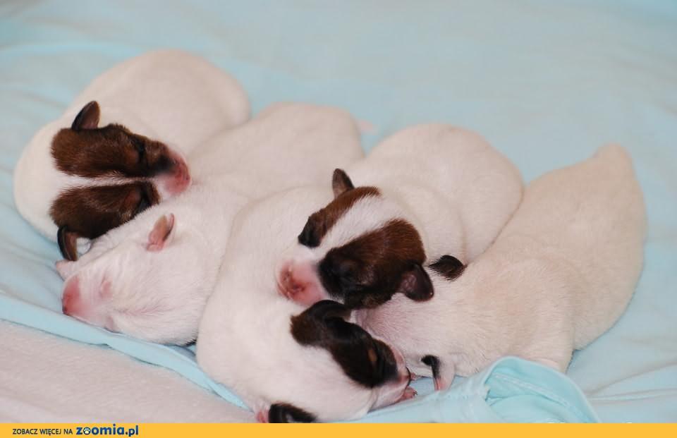Jack Russell Terrier gładkowłose