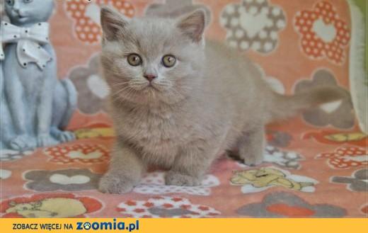 Cudne kocięta brytyjskie rodowód WCF,  mazowieckie Grójec