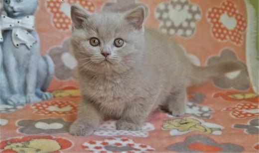 Cudne kocięta brytyjskie rodowód WCF   mazowieckie Grójec