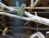 Papuga księżniczka walii