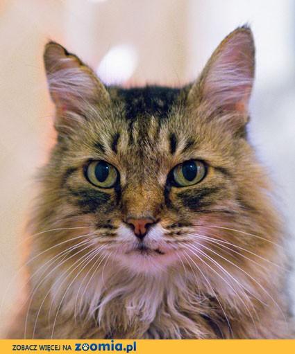 Zaginęła starsza kotka rasy syberyjskiej