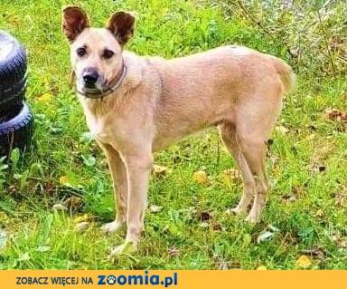 ZUZIA - kochana sunia, porzucona na działkach; do adopcji,  małopolskie Kraków