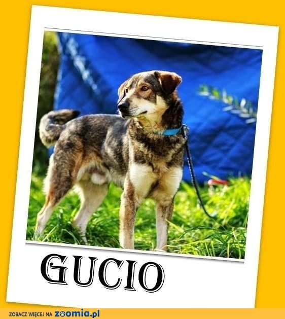 GUCIO-duży 20kg,młody,przyjazny,wilczasty pies,czip,ks.zdrowia.ADOPCJA