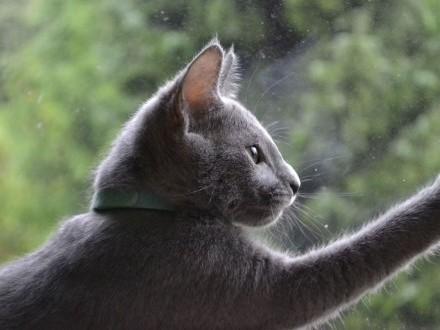 Kocięta Rosyjski Niebieski RUS rodowód PZF (WCF) - kotka