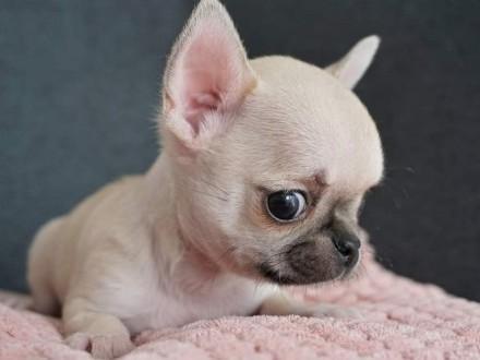 Chihuahua - malutkie i wyjątkowe  ZkwP  FCI!