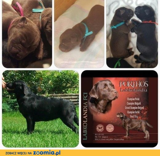 labrador czekoladowe i czarne chlopaki ZkwP/FCI,  Labrador retriever cała Polska