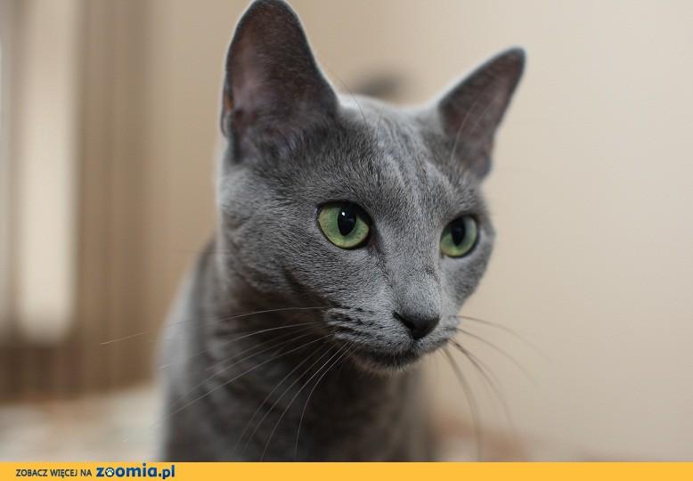 Kocięta Rosyjskie Niebieskie Rosyjski Niebieski Koty Archiwum