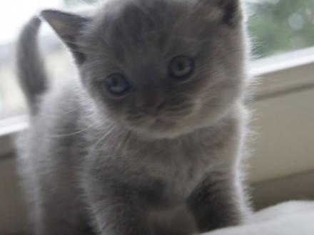 Kociaki brytyjskie niebieskie z rodowodem