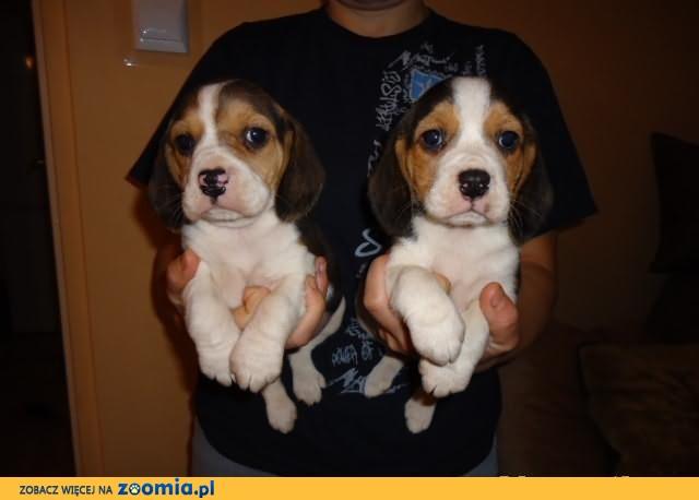 Beagle- szczenięta.