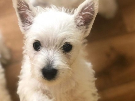 WEST Highland Terrier FCI