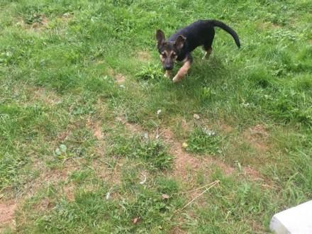 Sati - szczeniak z lasu szuka kochającego domu na zawsze