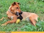 Przepiękny pies - Rudi :)