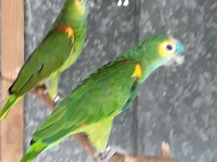 Papugi amazonki