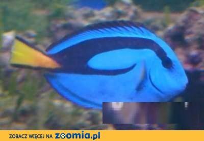 Pokolec Królewski ( Paracanthurus hepatus ) - ZooWitek