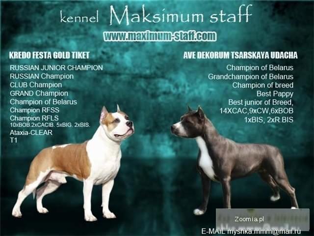 Szczenieta American Staffordshire Terrier