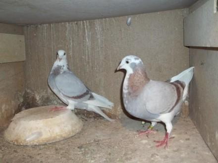 golebie= samice = matka z corka