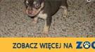 Mężczyzna i Kobieta Chihuahua szczenięta,  śląskie Bielsko-Biała