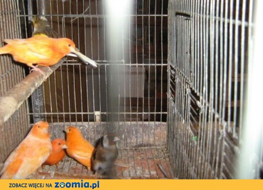 sprzedam samice kanarka,  Kanarki cała Polska