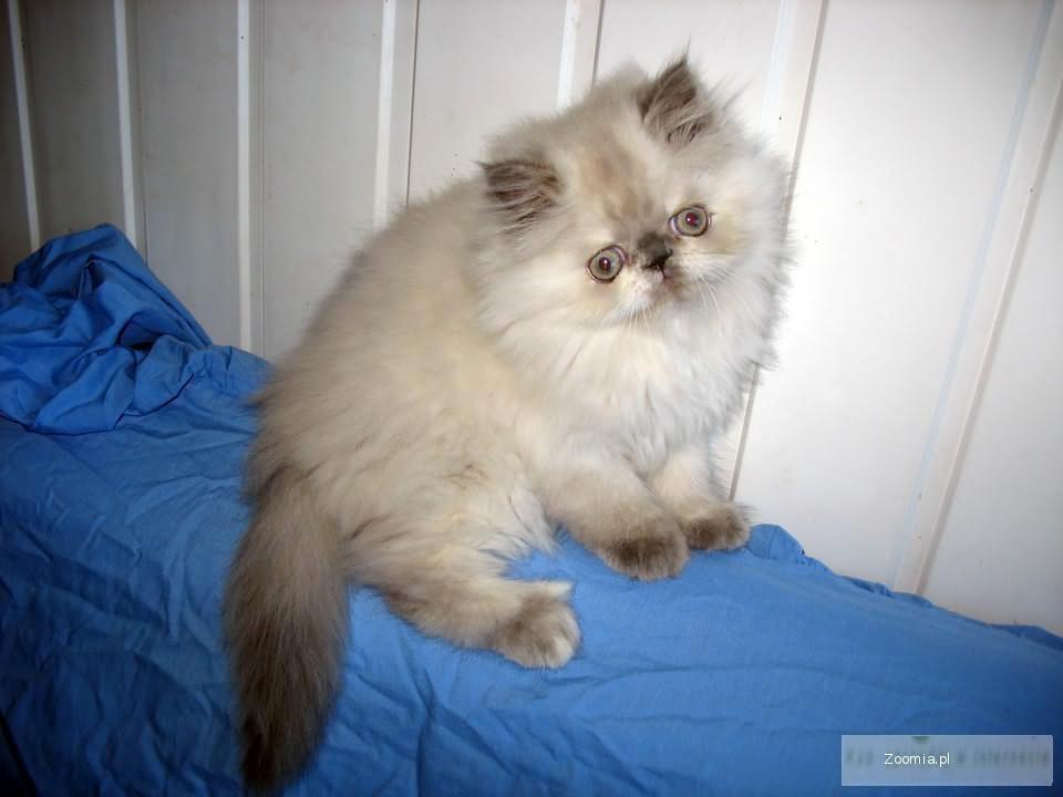 Poważne Kot perski, Pers - ogłoszenia z hodowli. Koty perskie / Zoomia.pl pl 3 AS67