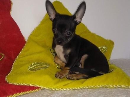 Chihuahua krótkowłosy rodowód ZKwP/FCI