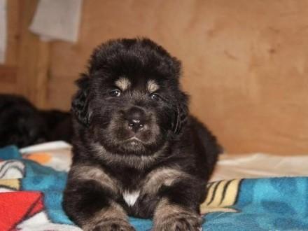 JEDYNY i NIEPOWTARZALNY MIOT mastifa tybetańskiego w Lhassa Valley!