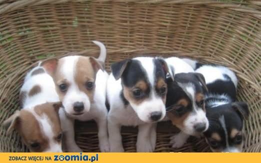 Piękne Jack Russell Terrier. Gotowe już do odbioru!