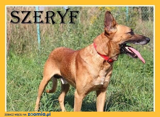 SZERYF-duży,wesoły,aktywny,czujny pies,czip,ks.zdrowia.ADOPCJA