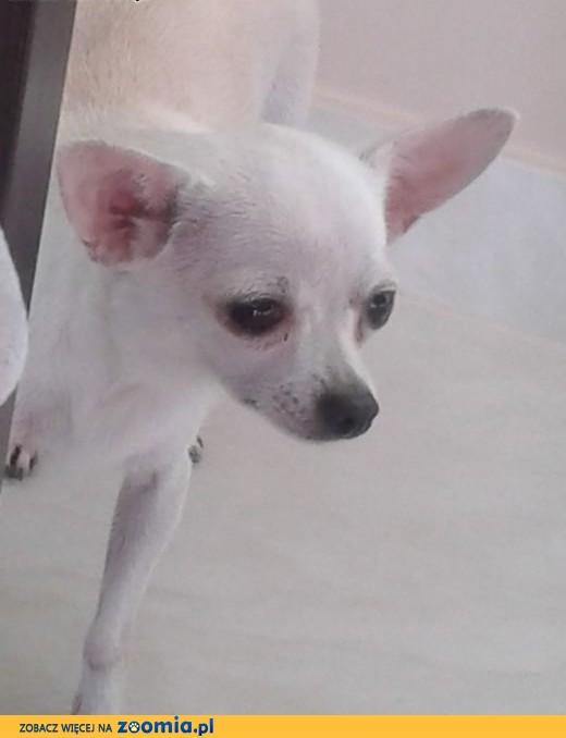 Chihuahua krótkowłosa.,  małopolskie Limanowa