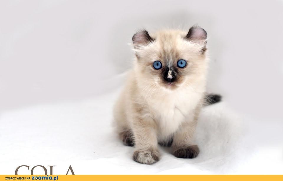 COLA - słodka koteczka rasy American Curl!