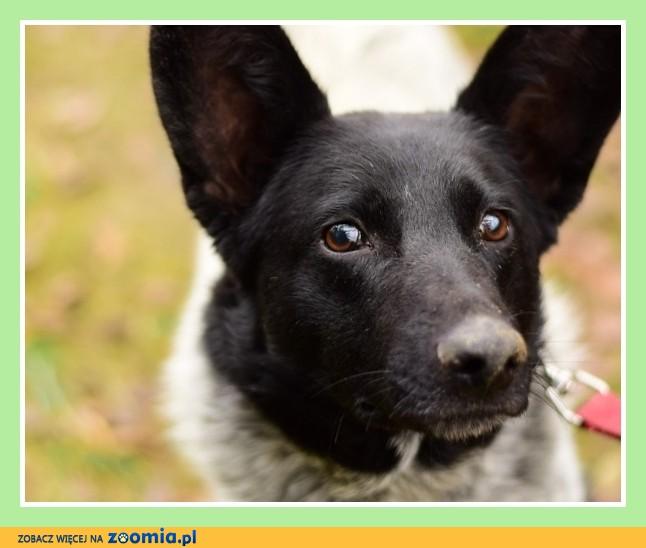 SZIPER, australijski mix,łagodny,przyjacielski,towarzyski pies_Adopcja