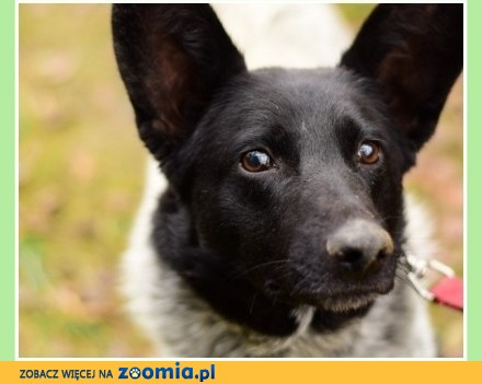SZIPER  australijski mix łagodny przyjacielski towarzyski pies_Adopcja