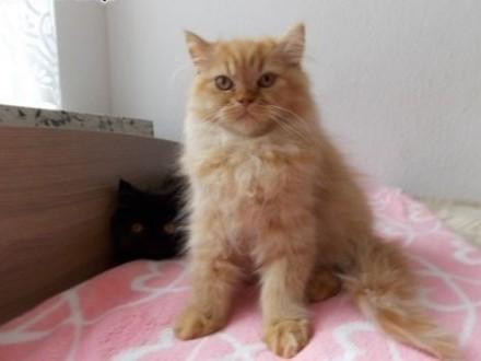 sprzedam kocięta perskie   dolnośląskie Brzeg Dolny