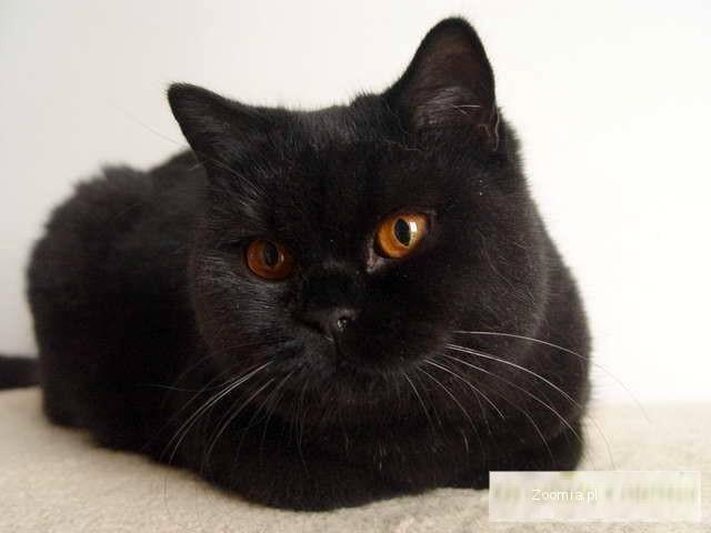 Kotka Brytyjska Czarna Krótkowłosa Dorosła Wykastrowana
