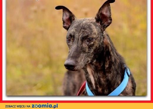 Chart,duży,łagodny,spokojny,grzeczny,szczepiony pies HOL.ADOPCJA,  małopolskie Kraków