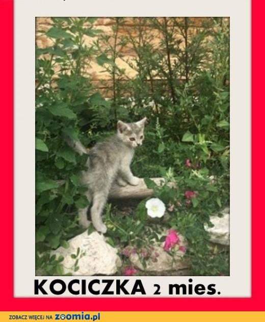 2 mies.kociczka srebrna GAMA z domu tymczas.ADOPCJA,  mazowieckie Warszawa