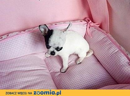 Chihuahua malutka suczka,  dolnośląskie Wrocław